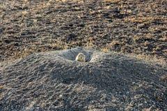 En präriehund petar dess hed från dess hem som kontrollerar för fara arkivfoto