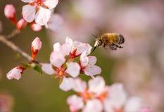 En préparant l'abeille pollinisez des fleurs de cerisier de fleur photos stock