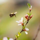En préparant l'abeille pollinisez des fleurs de cerisier de fleur image libre de droits