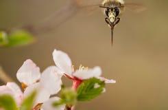 En préparant l'abeille pollinisez une fleur de prune de fleur images stock