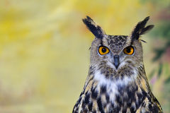 Prickig Örn-Owl Arkivfoton