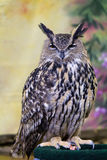 Prickig Örn-Owl Royaltyfria Foton