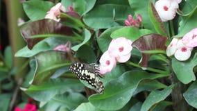 En prickig fjäril som har en blick på euphorbiablomman stock video
