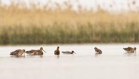 En prickig Redshank och flock av dentailed godwiten royaltyfria foton