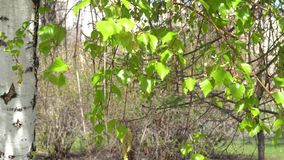 En primavera temprana, las hojas verdes florecieron en el árbol de abedul almacen de video