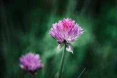 En purpurfärgad blomma av en gräslök royaltyfri bild