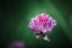 En purpurfärgad blomma av en gräslök fotografering för bildbyråer
