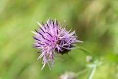 En purpurfärgad blomma i sommarljuset Arkivbilder