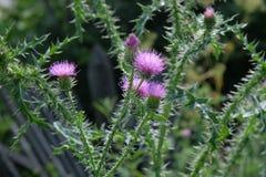 En purpurfärgad CarduusAcanthoide blomma Också bekant som en taggig plumeless tistel arkivbilder