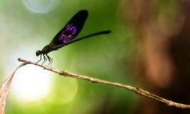 En purpurfärgad damselfly på en kryddnejlikastam royaltyfri fotografi