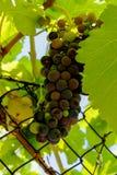 En purpurfärgad grupp av druvor Royaltyfri Bild