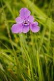 En purpurfärgad härlig blom i trädgården Royaltyfria Bilder