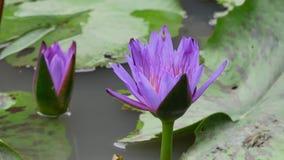 En purpurfärgad lotusblomma stock video