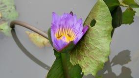 En purpurfärgad lotusblomma lager videofilmer