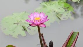 En purpurfärgad lotusblomma arkivfilmer