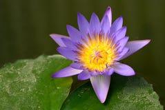 En purpurfärgad lotusblomma i dammet Fotografering för Bildbyråer