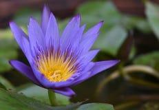 En purpurfärgad lotusblomma med gult pollen royaltyfri fotografi