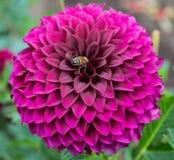 En purpurfärgat dahliablomma och bi Fotografering för Bildbyråer