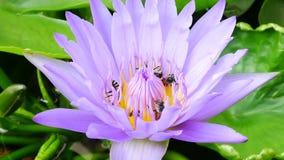 En purpurfärgat lotusblomma och bi arkivfilmer