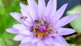 En purpurfärgat lotusblomma och bi stock video