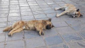En räddningsaktionhund från gatorna av Cuzco, Peru Arkivbilder