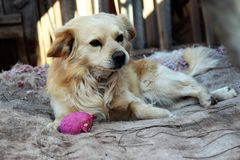 En räddningsaktionhund i ett skydd i Cuzco, Peru Royaltyfria Foton