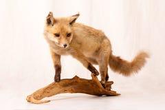 En räv Fotografering för Bildbyråer
