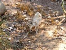 En räv för ökenrävfennec royaltyfria foton