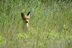 En räv i ängen Arkivfoton