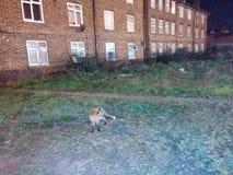 En räv i London arkivfoto
