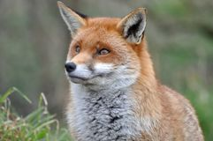 En räv i sommar Fotografering för Bildbyråer