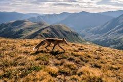 En räv på toppmötet av kupidonmaximumet Loveland passerande, Colorado Rocky Mountains fotografering för bildbyråer