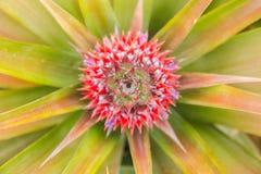 En röd ananas för behandla som ett barn i trädgård Arkivbild