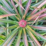En röd ananas för behandla som ett barn i trädgård och har röd färg Arkivfoto