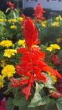 En röd blomma Arkivbild