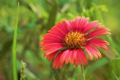 En röd blomma royaltyfri foto