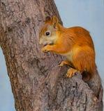 En röd ekorre med ljusa blåtiror gnag en mutter på ett träd med det bruna skället på fördjupningen royaltyfri foto