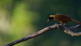 En röd fågel av paradisskärm i treetopsna Kvinnlign ska välja, vilken som helst mannen tar hennes infall arkivfoto