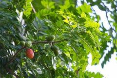 En röd frukt royaltyfria bilder