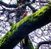 En röd gången mot fågel på ett mossigt träd arkivfoton
