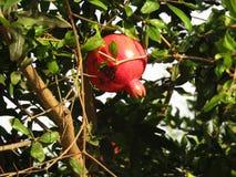 En röd granatäpple på trädet Royaltyfria Foton