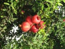 En röd granatäpple på trädet Arkivfoto
