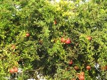 En röd granat på trädet Royaltyfria Foton