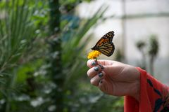 En röd, gul och orange fjäril med stängda vingar på en blomma i någon hand royaltyfri bild