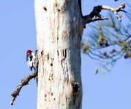 En röd hövdad hackspett på ett träd royaltyfria foton
