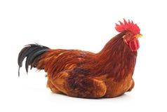 En röd hane Arkivfoto