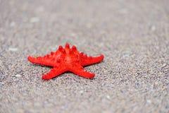 En röd havsstjärna Arkivbild