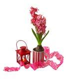 En röd hyacint med den isolerade röda lyktan Royaltyfri Bild