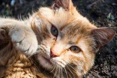En röd katt royaltyfri fotografi