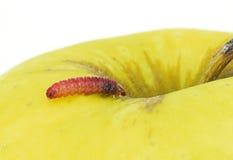 En röd larv Arkivfoton